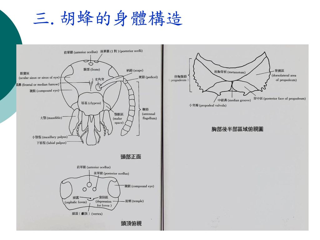 三.胡蜂的身體構造