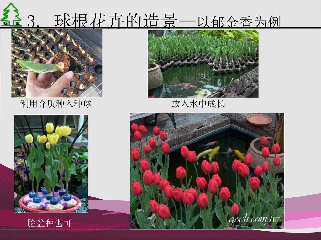 3. 球根花卉的造景—以郁金香为例 利用介质种入种球 放入水中成长 脸盆种也可