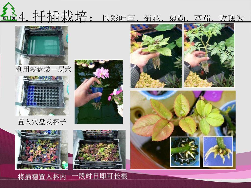 4.扦插栽培:以彩叶草、菊花、萝勒、蕃茄、玫瑰为例
