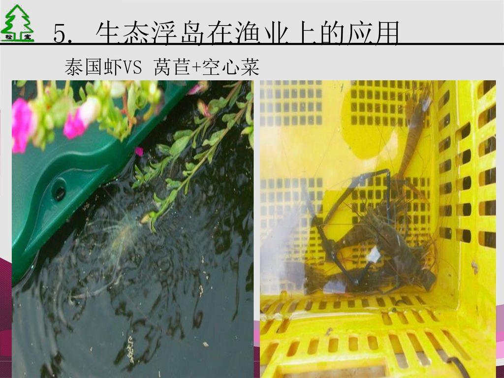 5. 生态浮岛在渔业上的应用 泰国虾VS 莴苣+空心菜