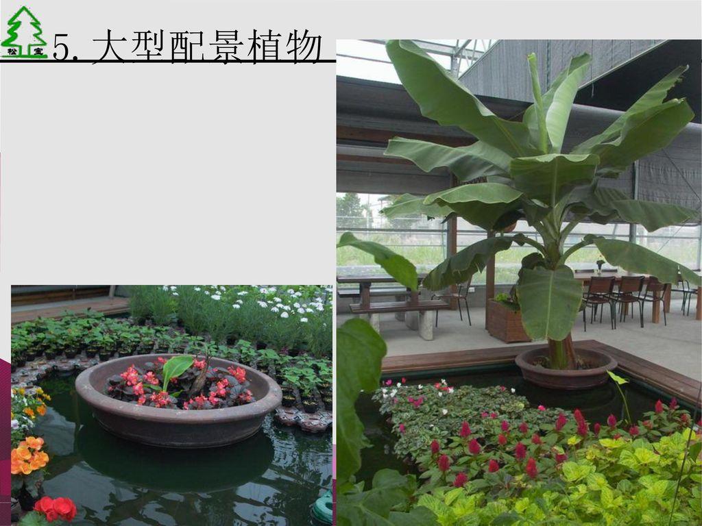 5.大型配景植物