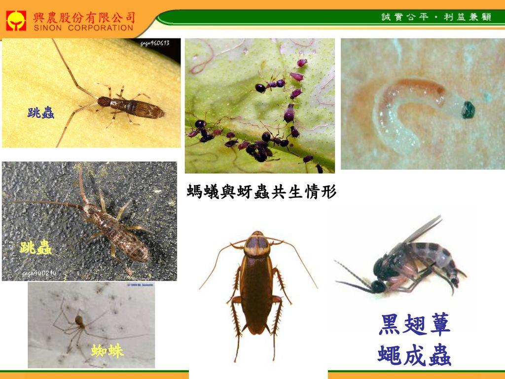 跳蟲 螞蟻與蚜蟲共生情形 跳蟲 黑翅蕈蠅成蟲 蟑螂 蜘蛛