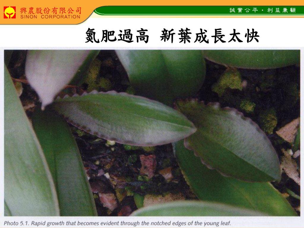 氮肥過高 新葉成長太快