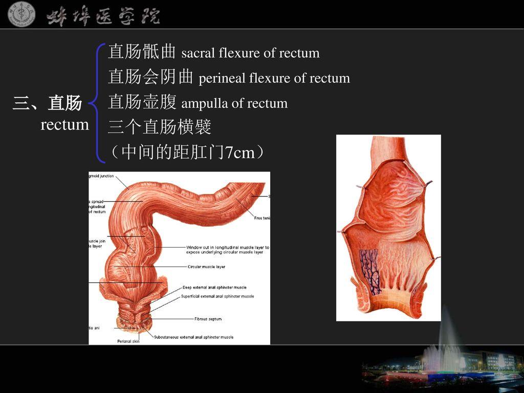 多媒体教学系列课件之一 消化系统 蚌埠医学院解剖学教研室 编制. - ppt download
