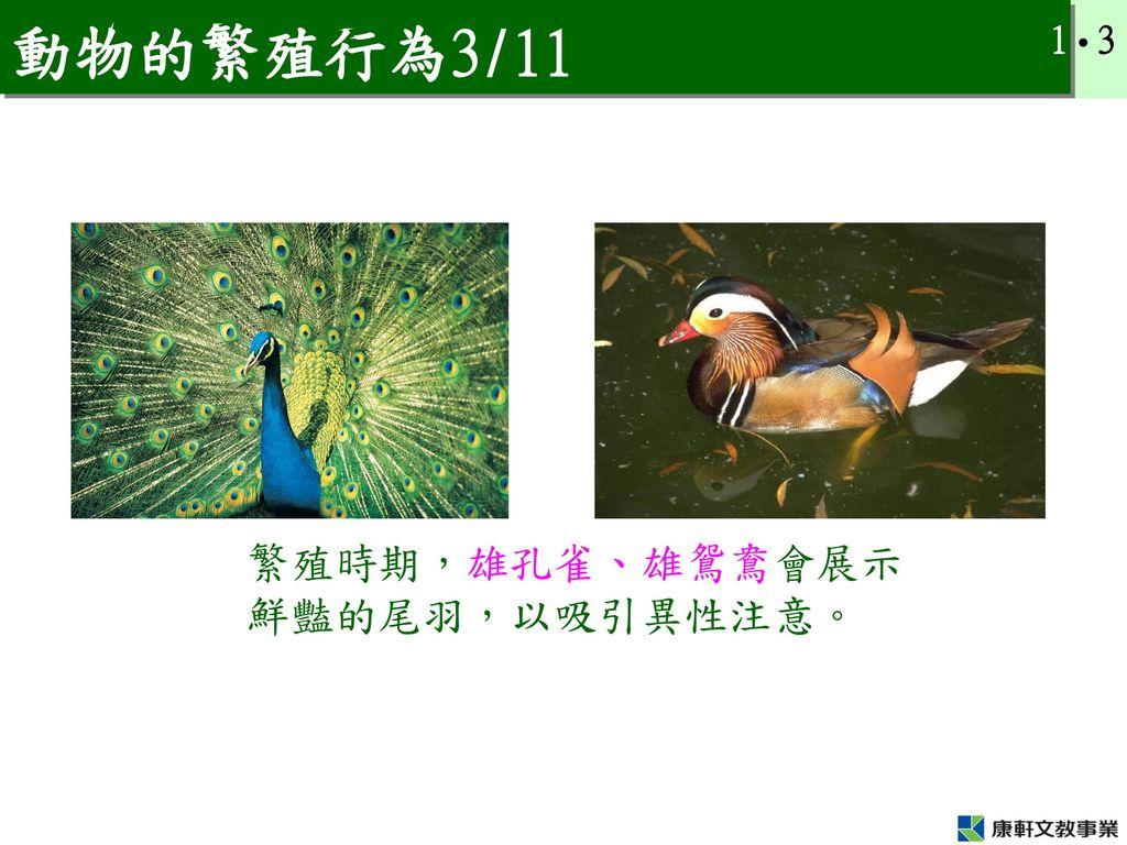 動物的繁殖行為3/11 繁殖時期,雄孔雀、雄鴛鴦會展示鮮豔的尾羽,以吸引異性注意。
