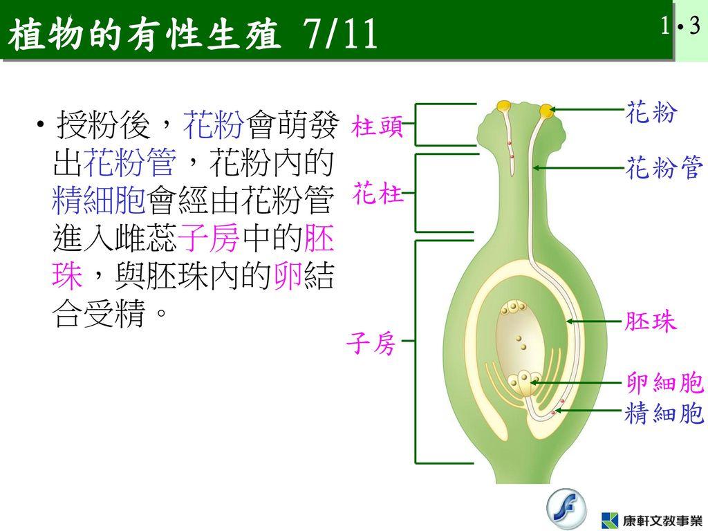 植物的有性生殖 7/11 授粉後,花粉會萌發出花粉管,花粉內的精細胞會經由花粉管進入雌蕊子房中的胚珠,與胚珠內的卵結合受精。 花粉 柱頭