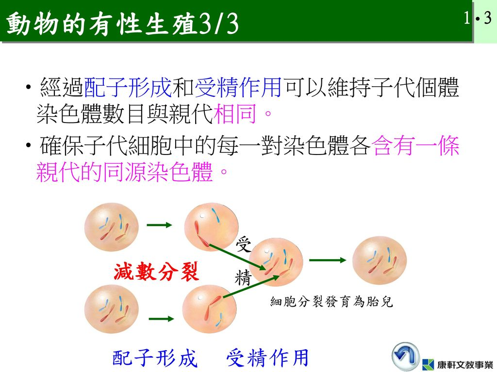 動物的有性生殖3/3 經過配子形成和受精作用可以維持子代個體染色體數目與親代相同。 確保子代細胞中的每一對染色體各含有一條親代的同源染色體。