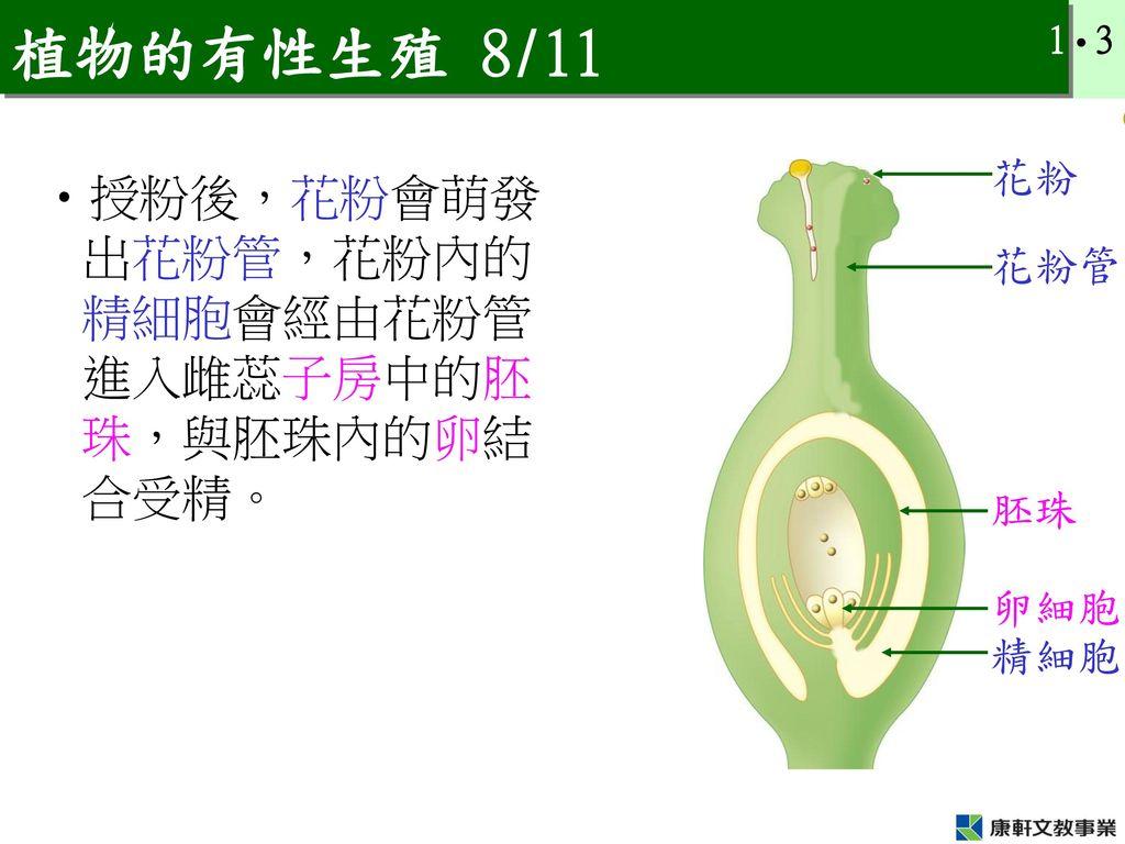 植物的有性生殖 8/11 授粉後,花粉會萌發出花粉管,花粉內的精細胞會經由花粉管進入雌蕊子房中的胚珠,與胚珠內的卵結合受精。 花粉 花粉管