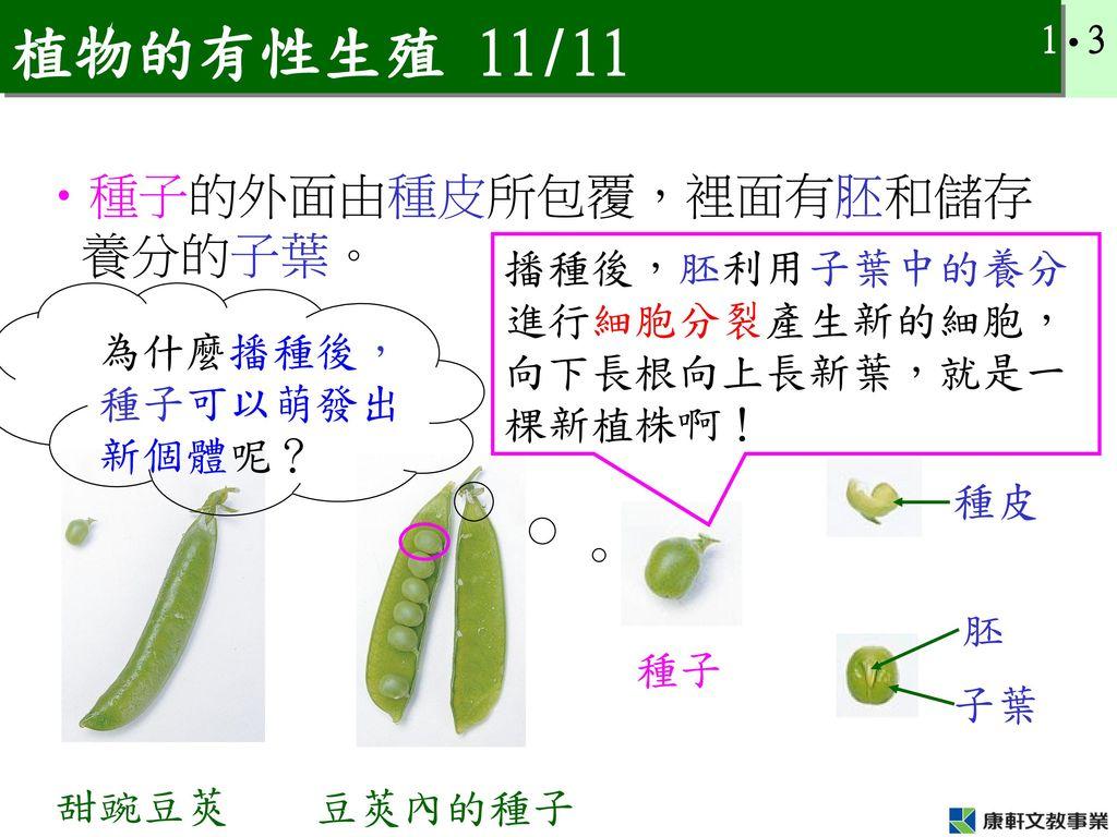 植物的有性生殖 11/11 種子的外面由種皮所包覆,裡面有胚和儲存養分的子葉。