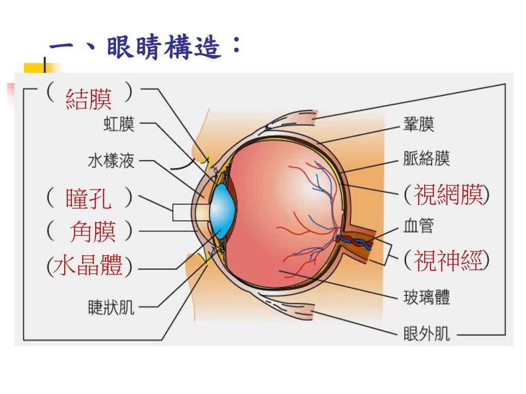 一、眼睛構造: 結膜 視網膜 瞳孔 角膜 視神經 水晶體