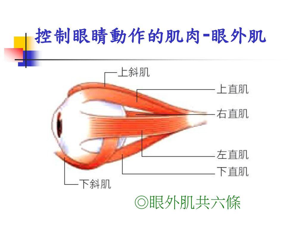 控制眼睛動作的肌肉-眼外肌 ◎眼外肌共六條