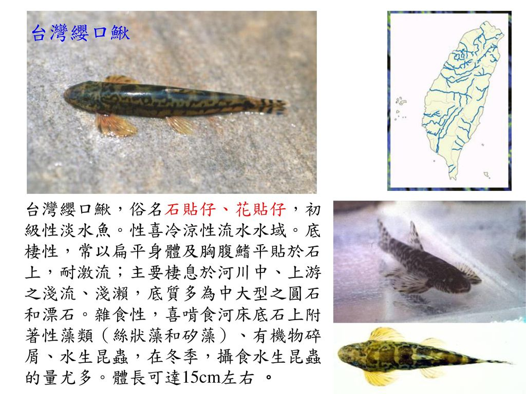 台灣纓口鰍