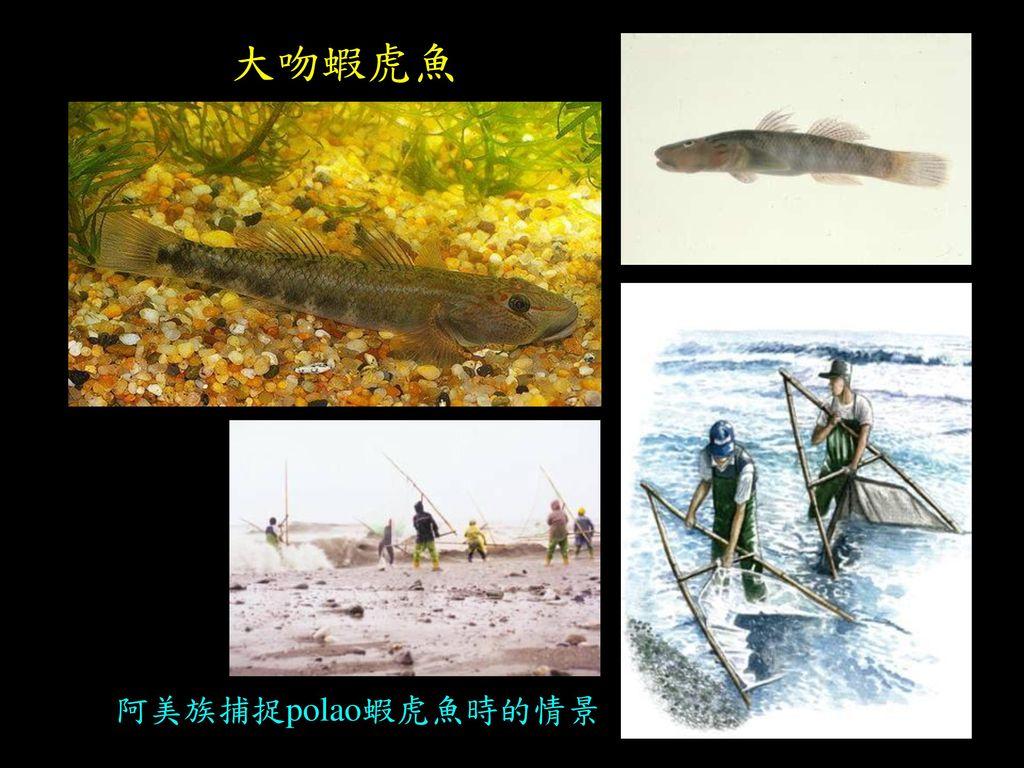 大吻蝦虎魚 阿美族捕捉polao蝦虎魚時的情景