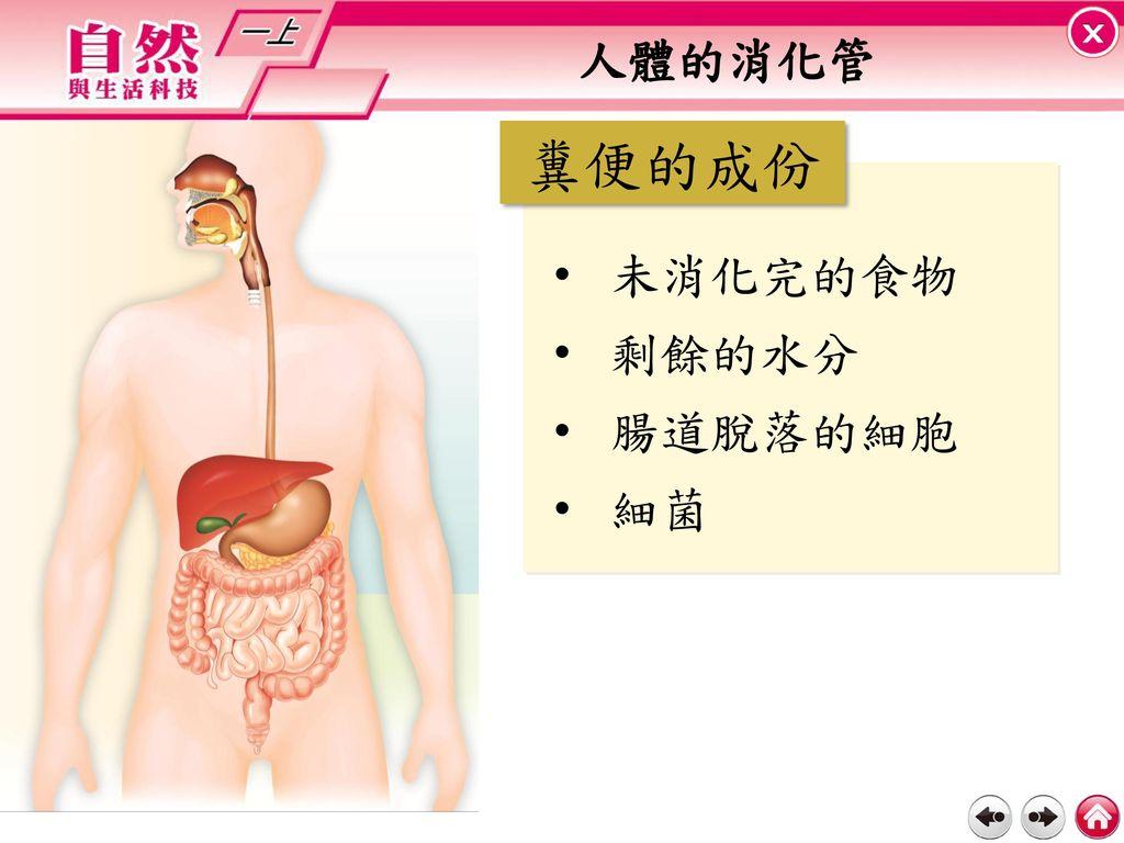 人體的消化管 糞便的成份 未消化完的食物 剩餘的水分 腸道脫落的細胞 細菌