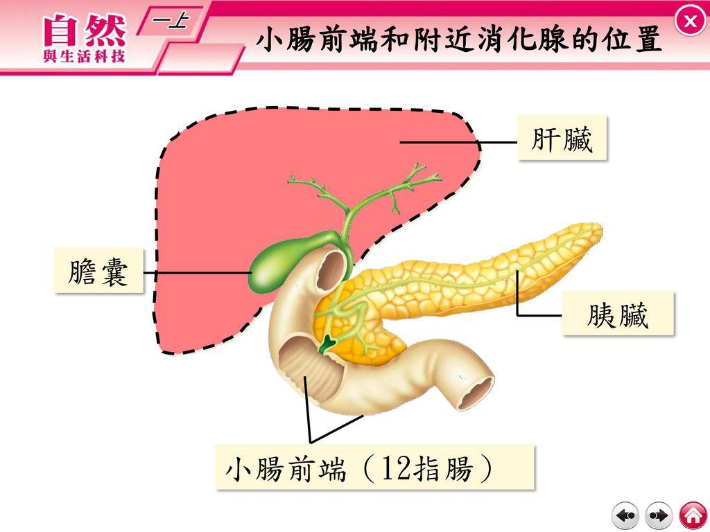小腸前端和附近消化腺的位置 肝臟 膽囊 胰臟 小腸前端(12指腸)