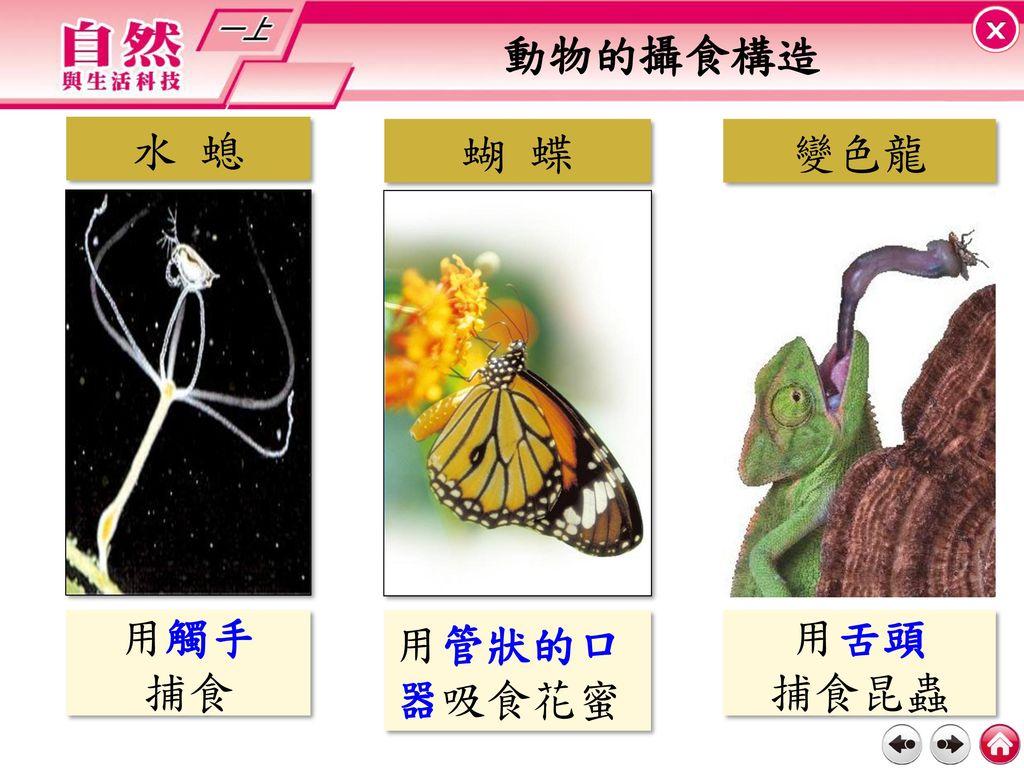 動物的攝食構造 水 螅 蝴 蝶 變色龍 用觸手 捕食 用管狀的口器吸食花蜜 用舌頭 捕食昆蟲
