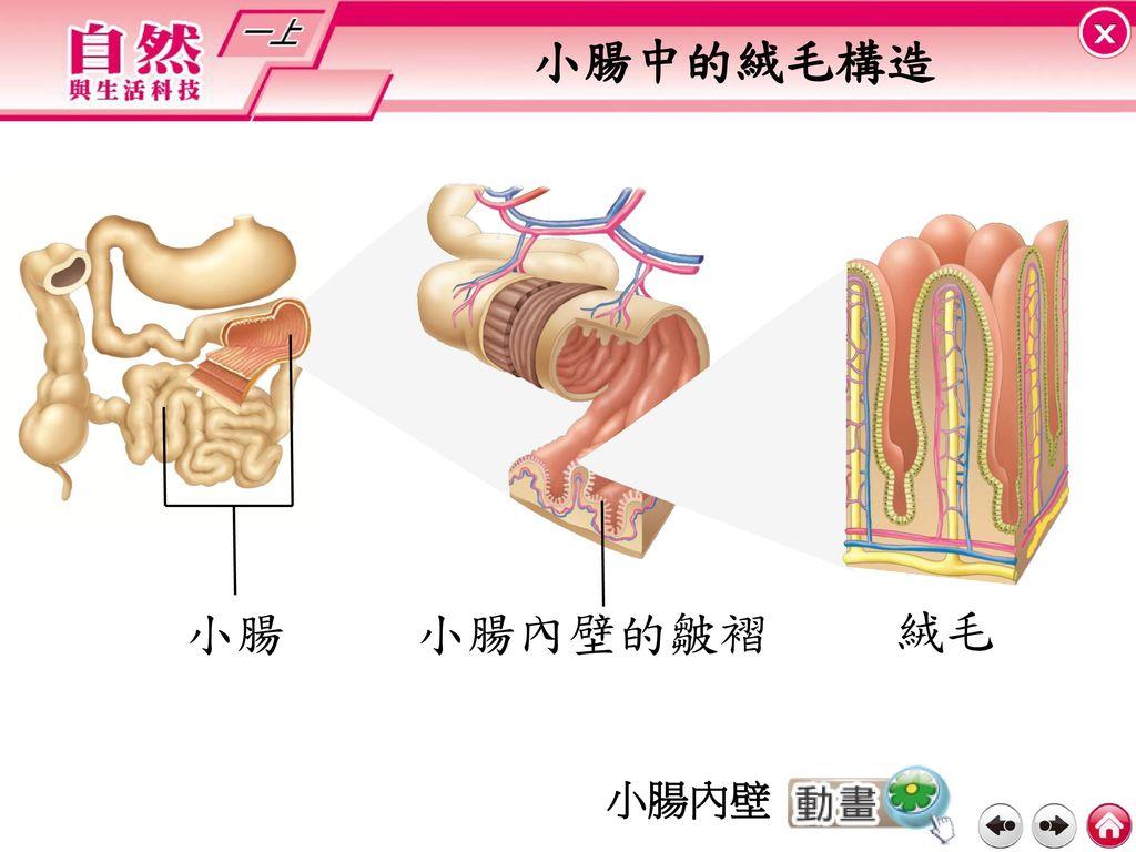小腸中的絨毛構造 小腸 小腸內壁的皺褶 絨毛 小腸內壁
