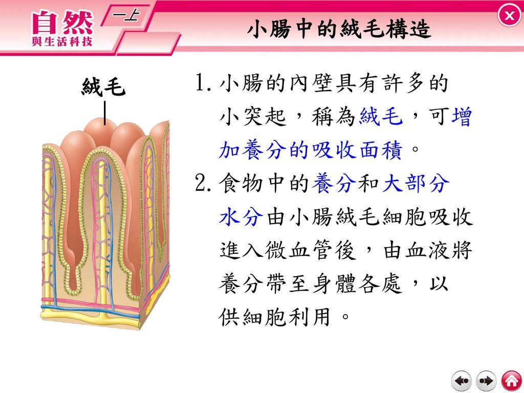小腸中的絨毛構造 1.小腸的內壁具有許多的. 小突起,稱為絨毛,可增. 加養分的吸收面積。 2.食物中的養分和大部分. 水分由小腸絨毛細胞吸收. 進入微血管後,由血液將. 養分帶至身體各處,以.