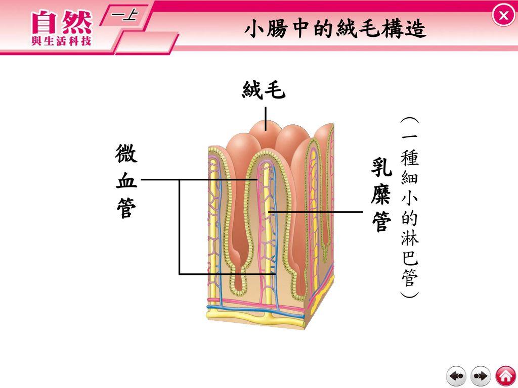 小腸中的絨毛構造 絨毛 (一種細小的淋巴管) 微血管 乳 糜 管
