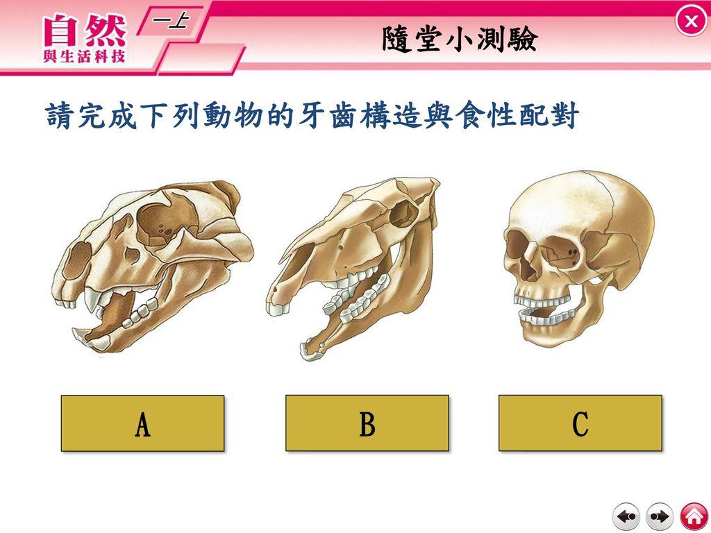 隨堂小測驗 請完成下列動物的牙齒構造與食性配對 A 肉食性 B 草食性 C 雜食性