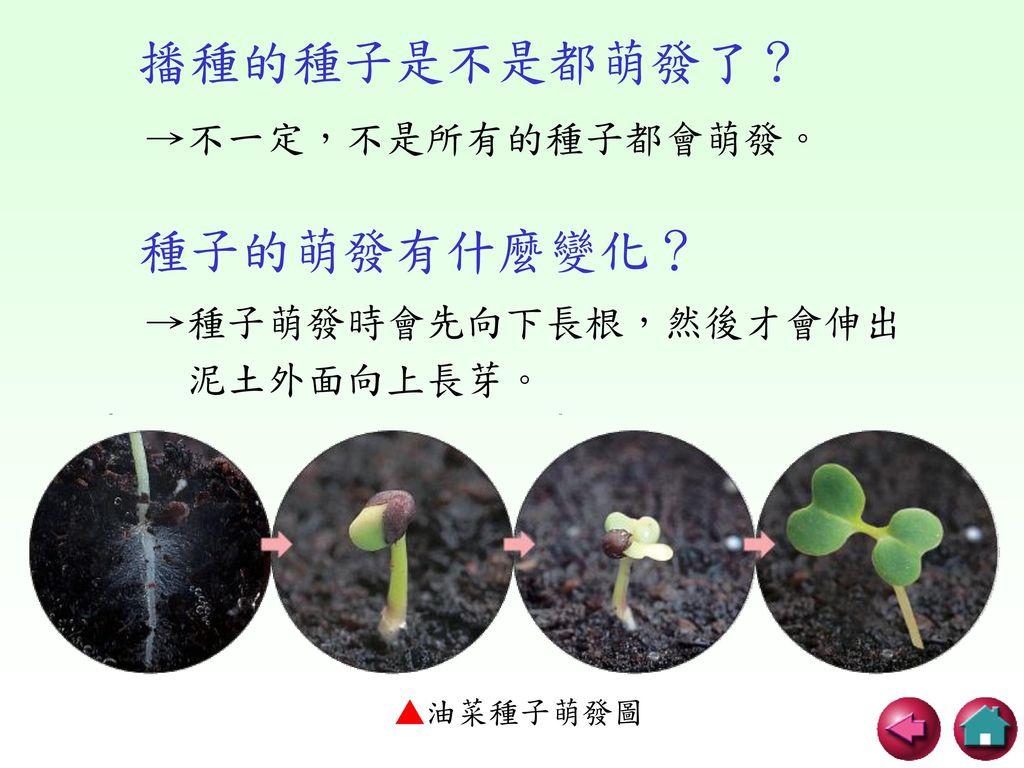 播種的種子是不是都萌發了? 種子的萌發有什麼變化? →不一定,不是所有的種子都會萌發。 →種子萌發時會先向下長根,然後才會伸出