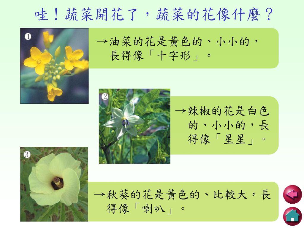 哇!蔬菜開花了,蔬菜的花像什麼? →油菜的花是黃色的、小小的, 長得像「十字形」。 →辣椒的花是白色 的、小小的,長 得像「星星」。