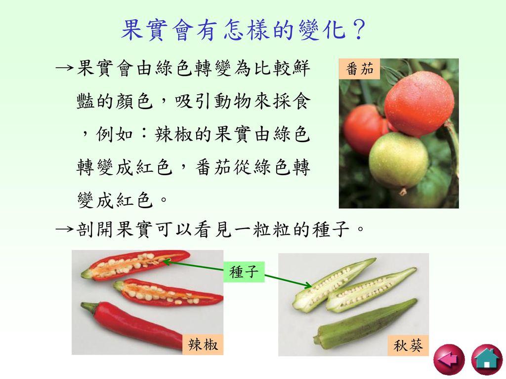 果實會有怎樣的變化? →果實會由綠色轉變為比較鮮 豔的顏色,吸引動物來採食 ,例如:辣椒的果實由綠色 轉變成紅色,番茄從綠色轉 變成紅色。