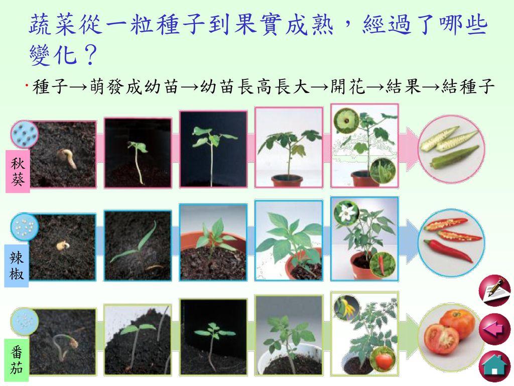 蔬菜從一粒種子到果實成熟,經過了哪些變化?