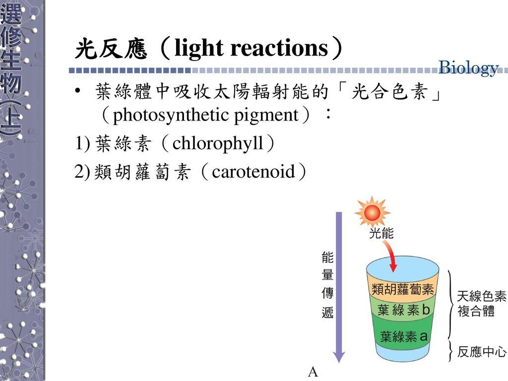 光反應(light reactions) 葉綠體中吸收太陽輻射能的「光合色素」(photosynthetic pigment):