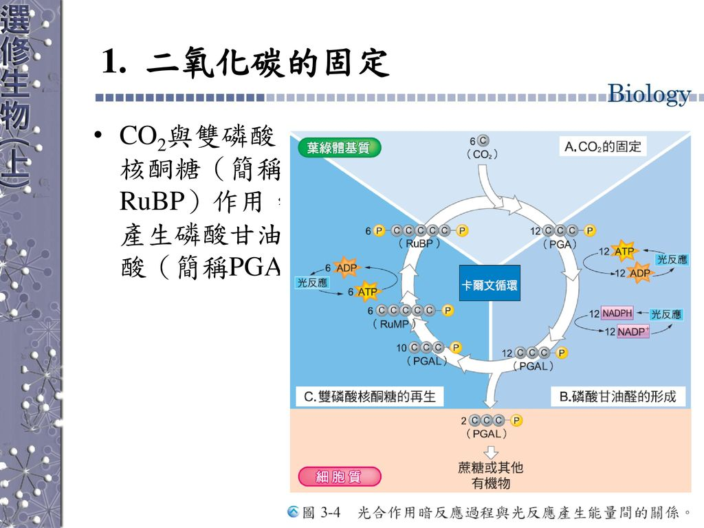 1. 二氧化碳的固定 CO2與雙磷酸核酮糖(簡稱RuBP)作用,產生磷酸甘油酸(簡稱PGA)