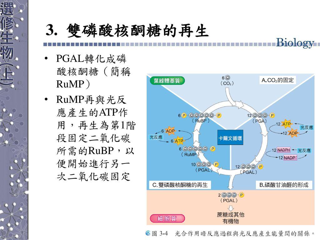3. 雙磷酸核酮糖的再生 PGAL轉化成磷酸核酮糖(簡稱RuMP)