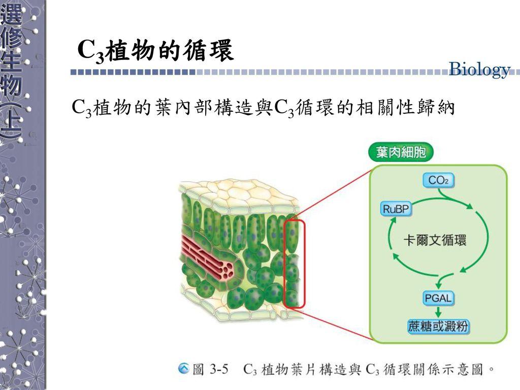 C3植物的循環 C3植物的葉內部構造與C3循環的相關性歸納