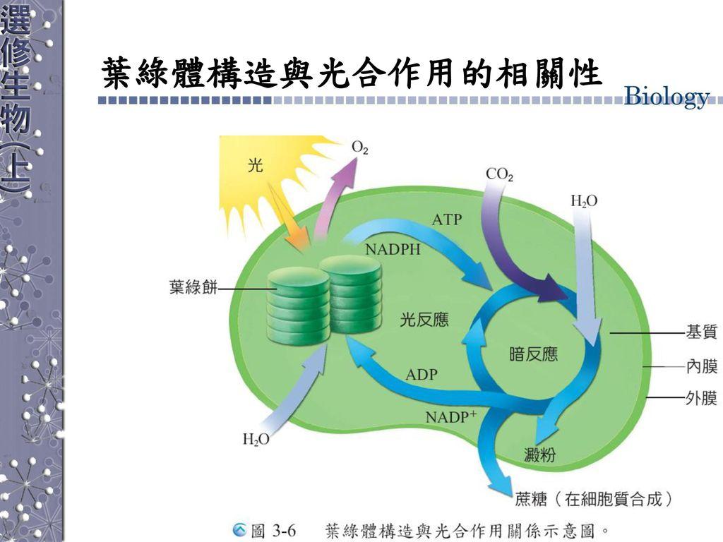葉綠體構造與光合作用的相關性