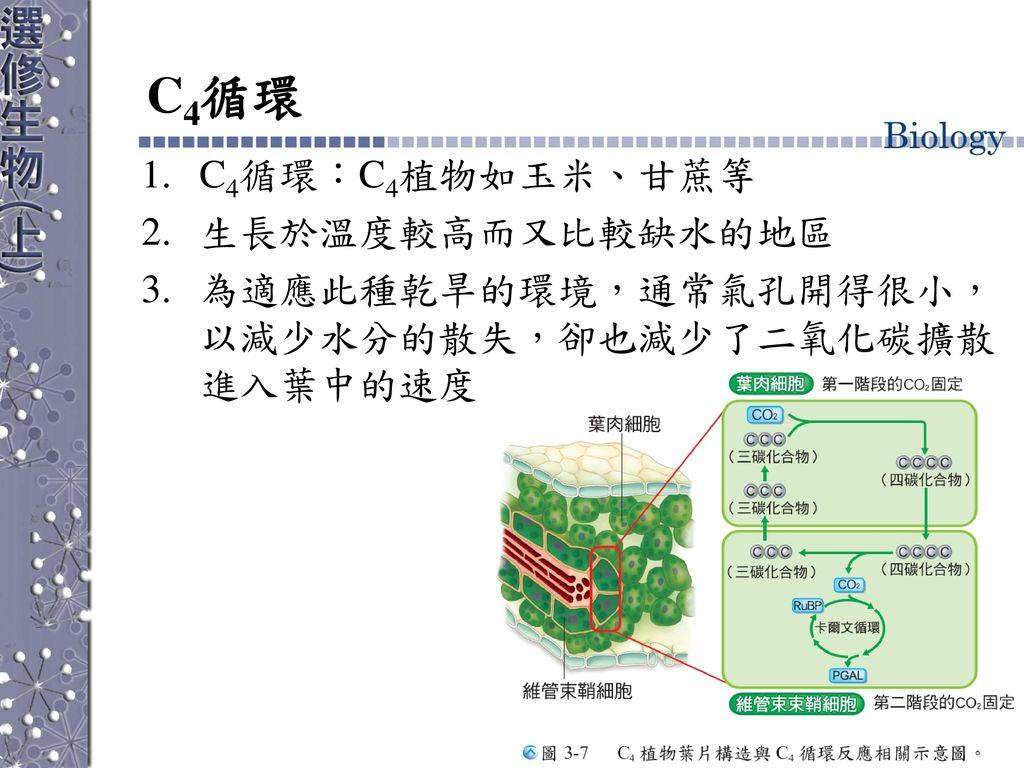 C4循環 C4循環:C4植物如玉米、甘蔗等 生長於溫度較高而又比較缺水的地區