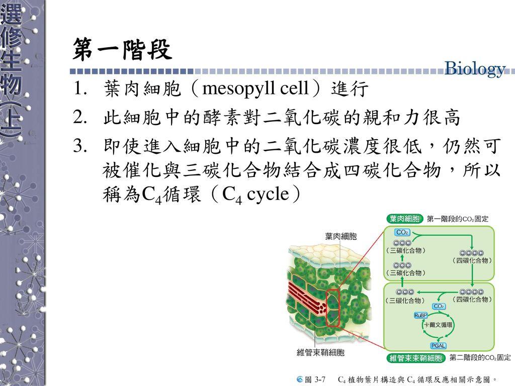 第一階段 葉肉細胞(mesopyll cell)進行 此細胞中的酵素對二氧化碳的親和力很高