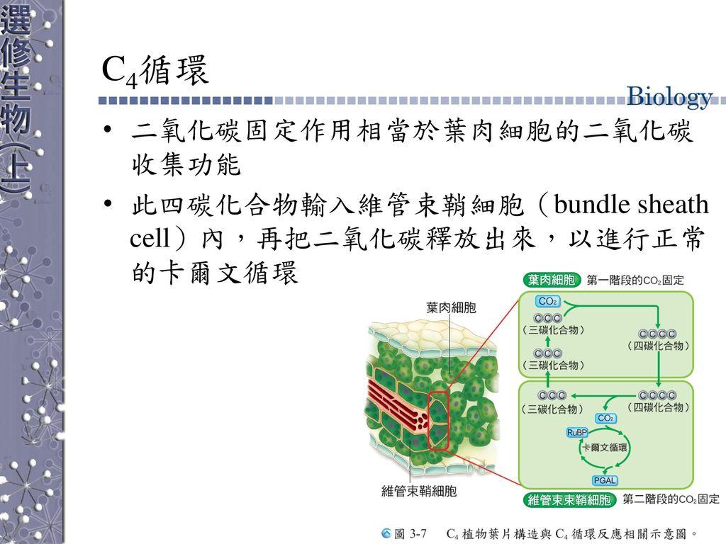 C4循環 二氧化碳固定作用相當於葉肉細胞的二氧化碳收集功能