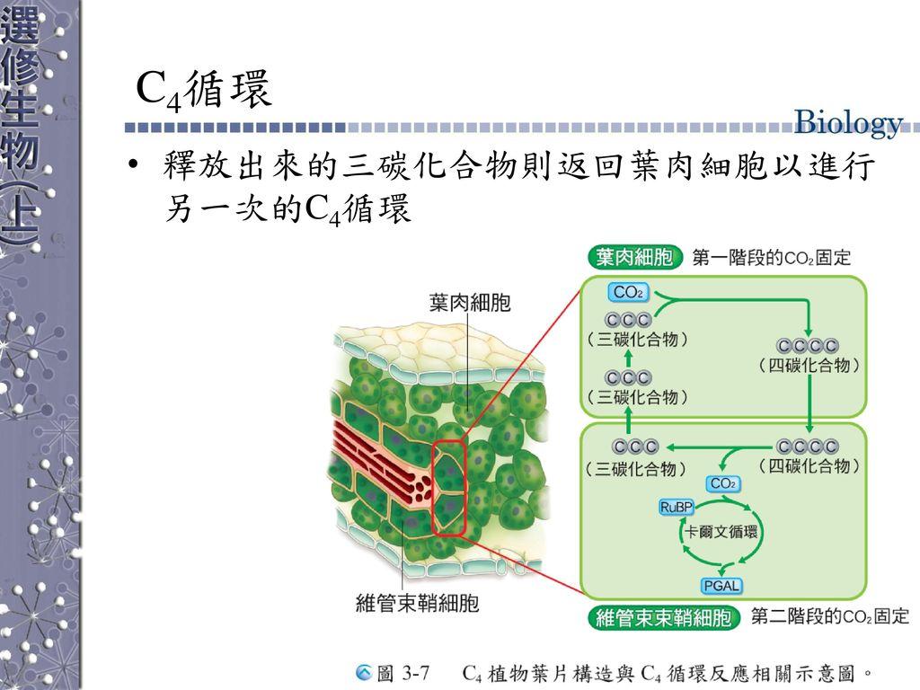 C4循環 釋放出來的三碳化合物則返回葉肉細胞以進行另一次的C4循環