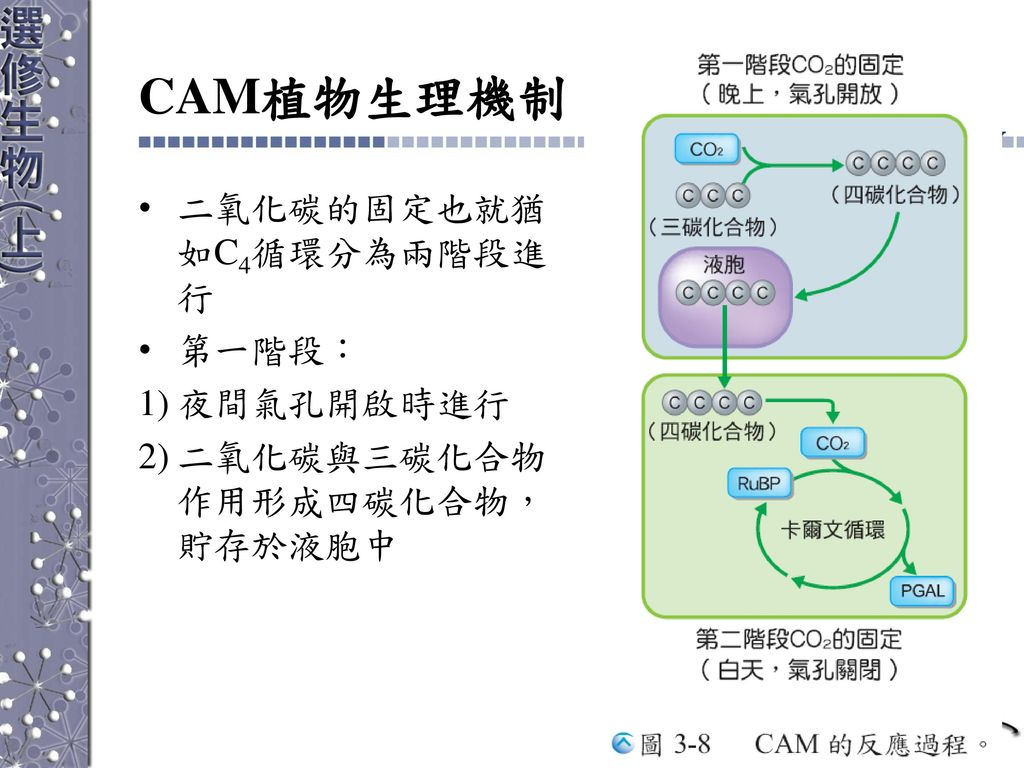 CAM植物生理機制 二氧化碳的固定也就猶如C4循環分為兩階段進行 第一階段: 夜間氣孔開啟時進行