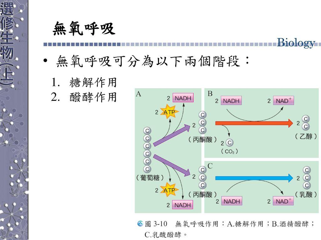 無氧呼吸 無氧呼吸可分為以下兩個階段: 糖解作用 醱酵作用