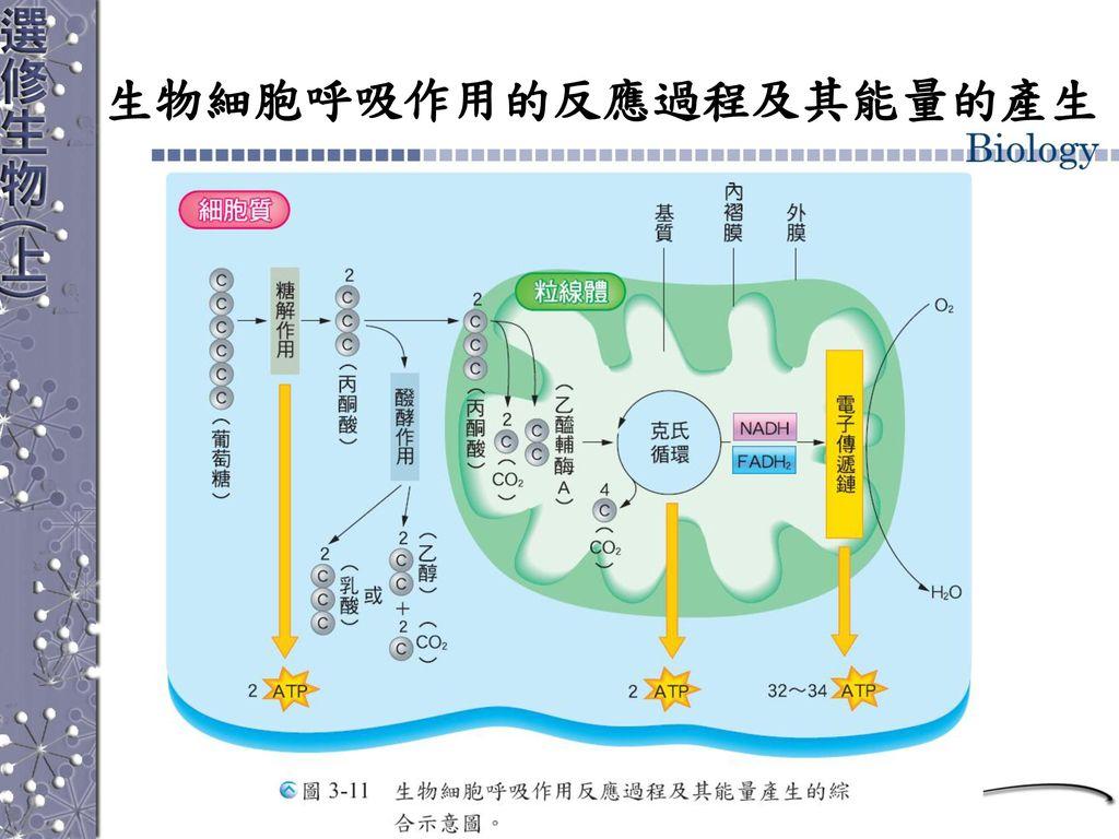 生物細胞呼吸作用的反應過程及其能量的產生