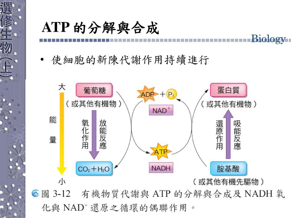 ATP 的分解與合成 使細胞的新陳代謝作用持續進行