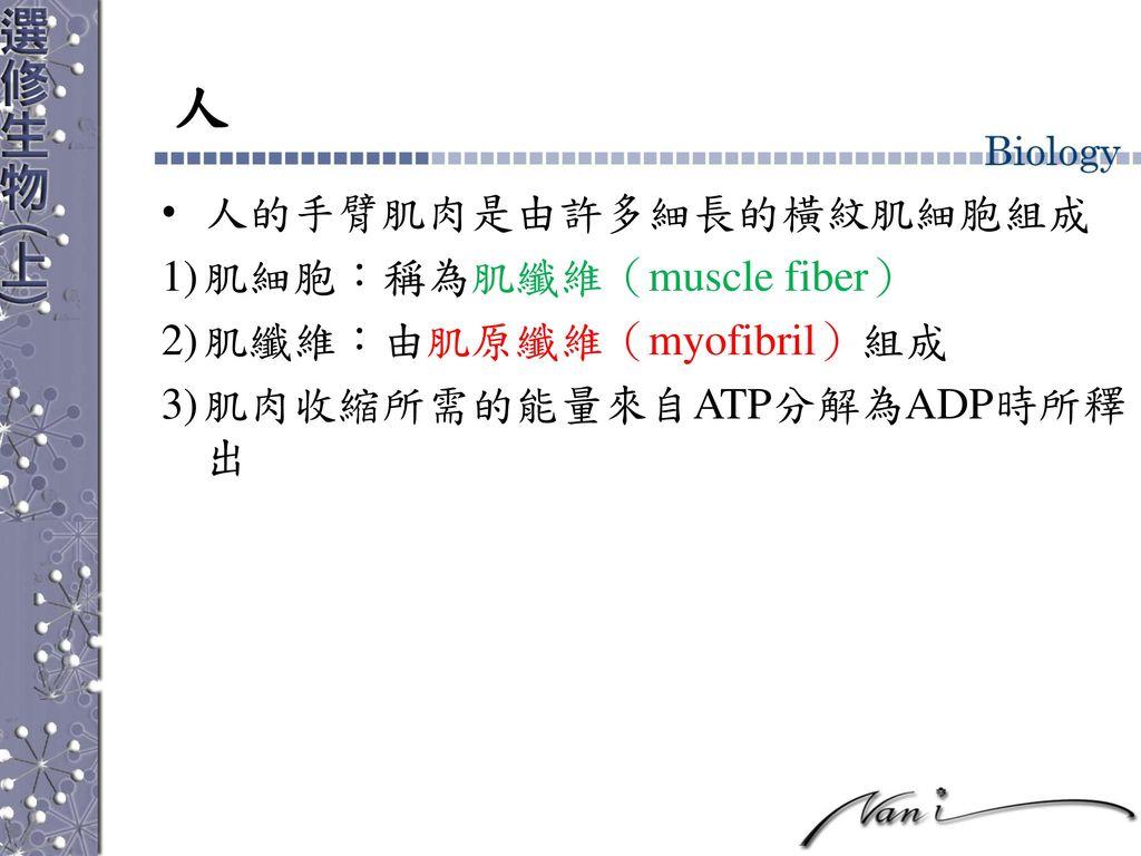 人 人的手臂肌肉是由許多細長的橫紋肌細胞組成 肌細胞:稱為肌纖維(muscle fiber) 肌纖維:由肌原纖維(myofibril)組成