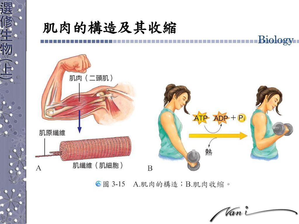 肌肉的構造及其收縮