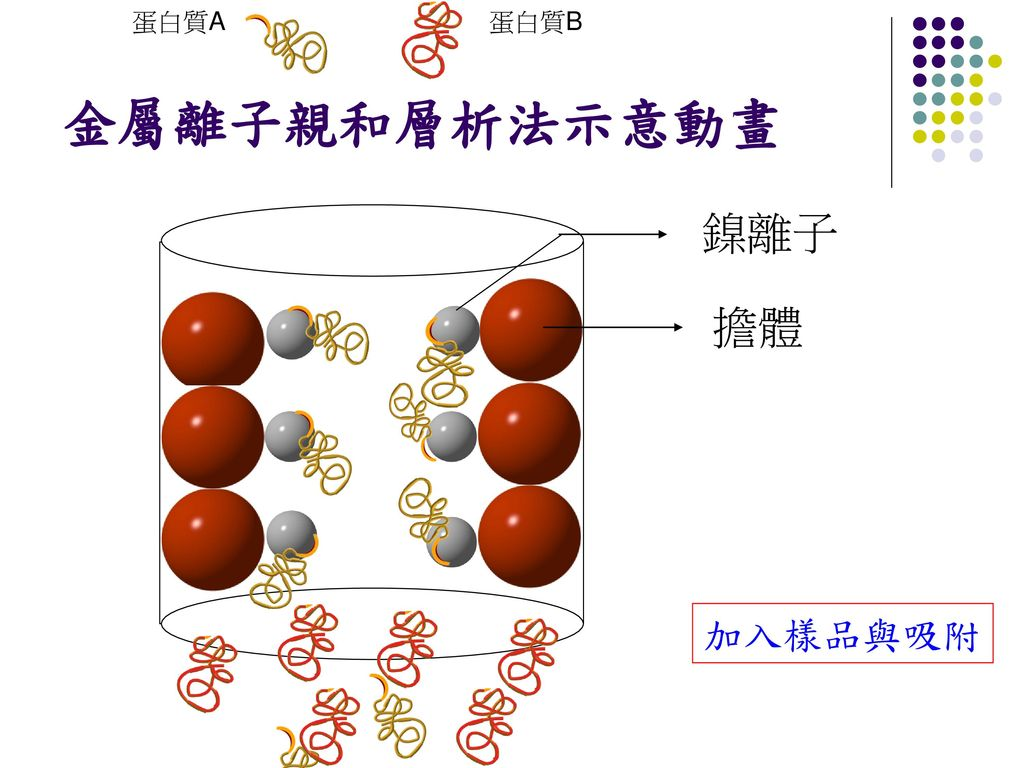 蛋白質A 蛋白質B 金屬離子親和層析法示意動畫 鎳離子 擔體 加入樣品與吸附
