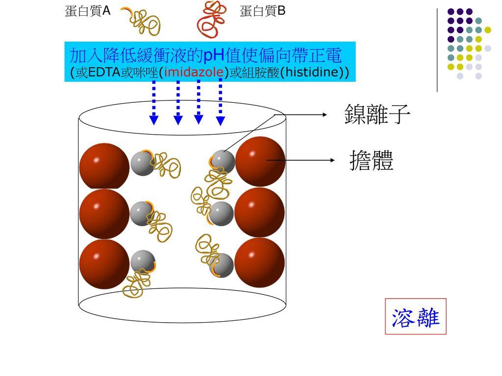 溶離 鎳離子 擔體 加入降低緩衝液的pH值使偏向帶正電 蛋白質A 蛋白質B