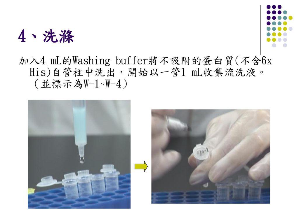 4、洗滌 加入4 mL的Washing buffer將不吸附的蛋白質(不含6x His)自管柱中洗出,開始以一管1 mL收集流洗液。(並標示為W-1~W-4)