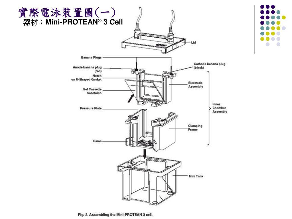 實際電泳裝置圖(一) 器材:Mini-PROTEAN® 3 Cell