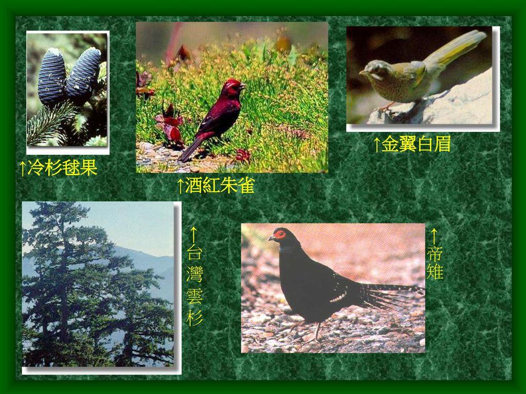 ↑金翼白眉 ↑冷杉毬果 ↑酒紅朱雀 ←台 灣 雲 杉 ←帝雉