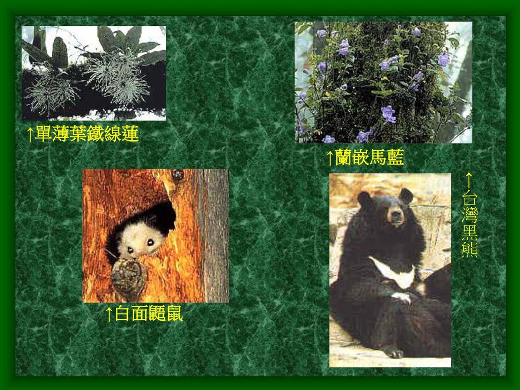 ↑單薄葉鐵線蓮 ↑蘭嵌馬藍 ←台灣黑熊 ↑白面鼯鼠