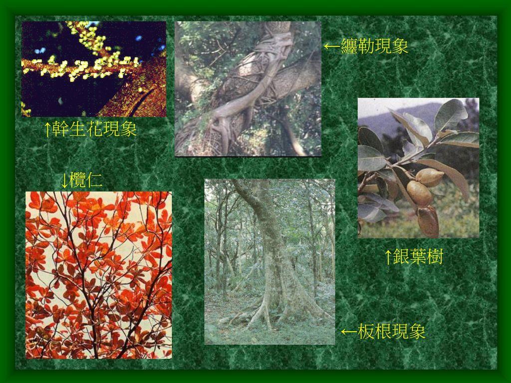 ←纏勒現象 ↑幹生花現象 ↓欖仁 ↑銀葉樹 ←板根現象